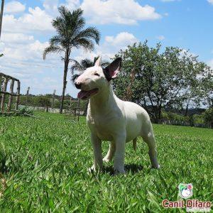 00-ayesha-difaro-bull-terrier