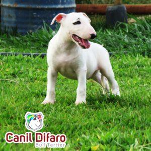 01-filhote-bull-terrier-1