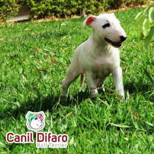 01-filhote-bull-terrier