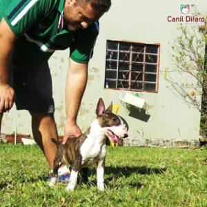 03-filhote-bull-terrier-hannahxbig