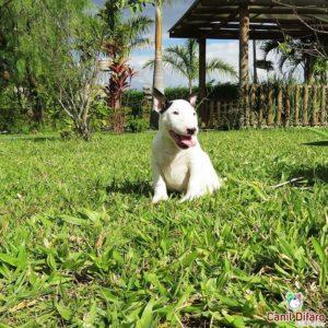03-filhote-bull-terrier-zeus
