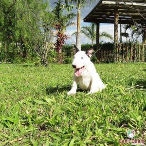 04-filhote-bull-terrier-zeus