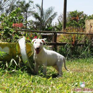 05-filhotes-bull-terrier-medusa-x-alvin-f-bca