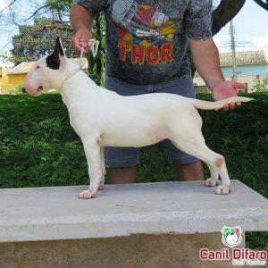 06-filhote-bull-terrier-ayesha