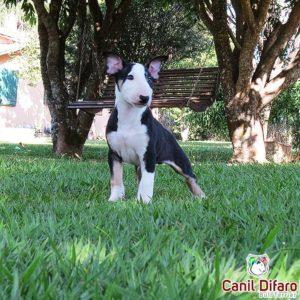 07-filhote-bull-terrier-m-tricolor-difaro