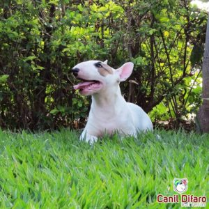 08-filhote-bull-terrier-channel