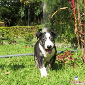 09-filhote-bull-terrier-black-bolt
