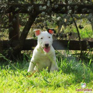 09-filhote-bull-terrier-ralf