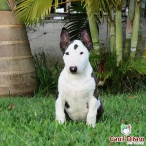 10-filhote-bull-terrier-sabrina