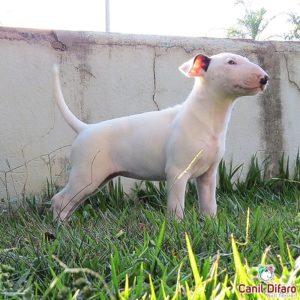 11-filhote-bull-terrier-dinny-difaro