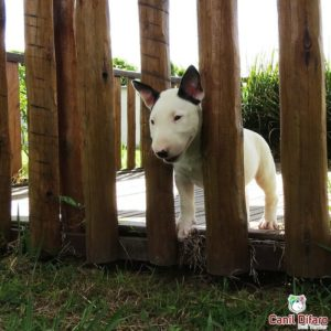11-filhote-bull-terrier-zeus