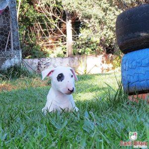 16-filhote-bull-terrier-jack-pirata