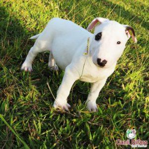 allstar-filhote-bull-terrier-10