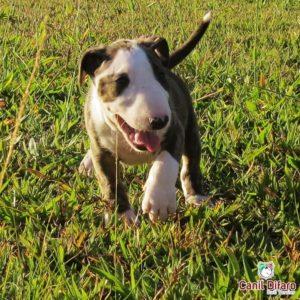 f2-filhote-bull-terrier-hannahxbig-14