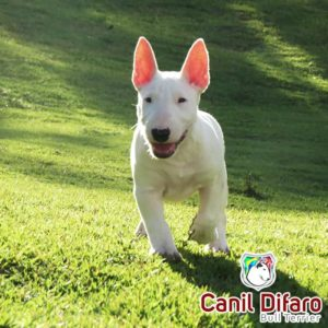 filhote-bull-terrier-03-fred