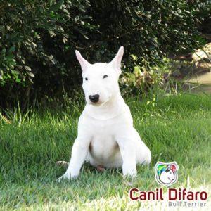 filhote-bull-terrier-05-fred