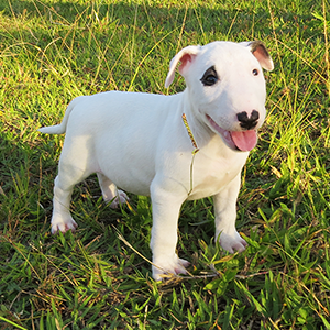 Filhote Bull Terrier All Star