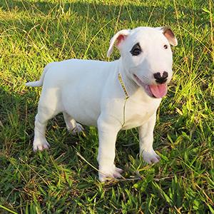 Filhote Bull Terrier All Star