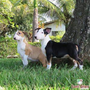 filhote-bull-terrier-angel-kayra-01