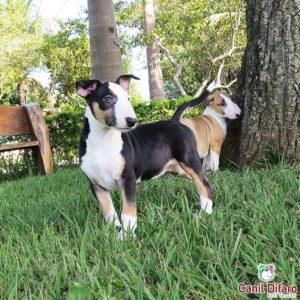 filhote-bull-terrier-angel-kayra-14