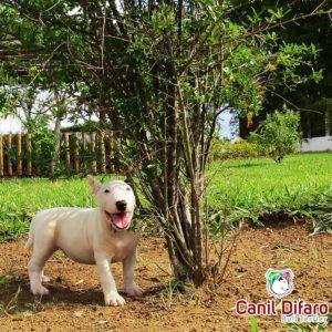 filhote-bull-terrier-f1-12