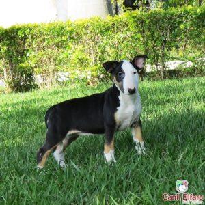 filhote-bull-terrier-kayra-02
