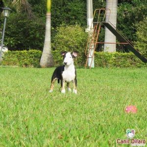 filhote-bull-terrier-kayra-05