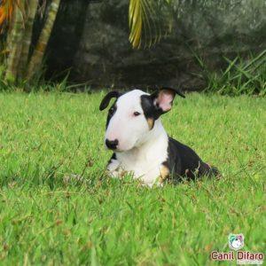 filhote-bull-terrier-kayra-08