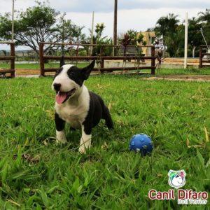 filhote-bull-terrier-m3-02