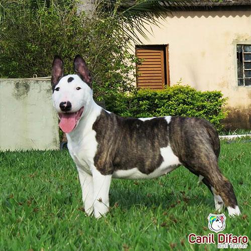 Bull Terrier Tigrado Sabrina