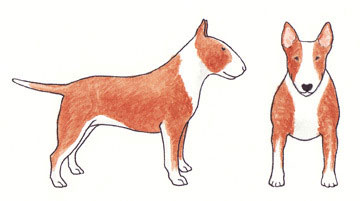Bull Terrier Baio com Branco