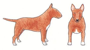Bull Terrier Baio Sólido