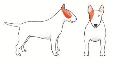 Bull Terrier Branco e Baio