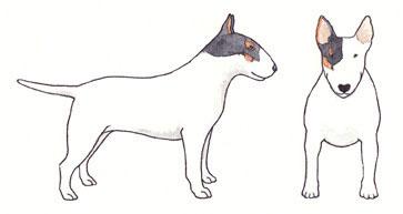 Bull Terrier Branco com Preto e Baio