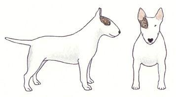 Bull Terrier Branco e Tigrado