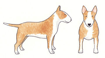Bull Terrier Fulvo com Branco