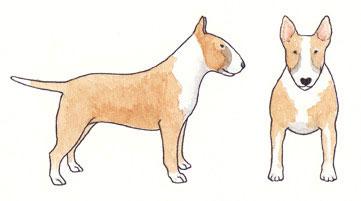 Bull Terrier Fulvo com Fumaça e Branco