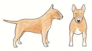 Bull Terrier Fulvo com Fumaça Sólido