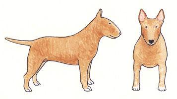 Bull Terrier Fulvo Sólido