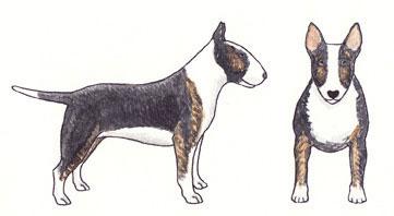 Bull Terrier Preto com Tigrado e Branco