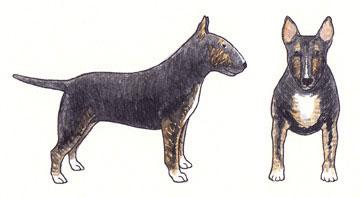 Bull Terrier Preto com Tigrado Sólido