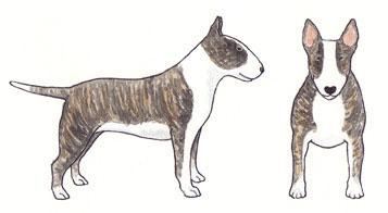 Bull Terrier Tigrado e Branco
