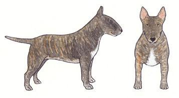 Bull Terrier Tigrado Sólido