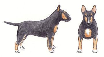 Bull Terrier Tricolor Sólido