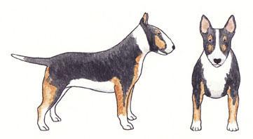 Bull Terrier Tricolor