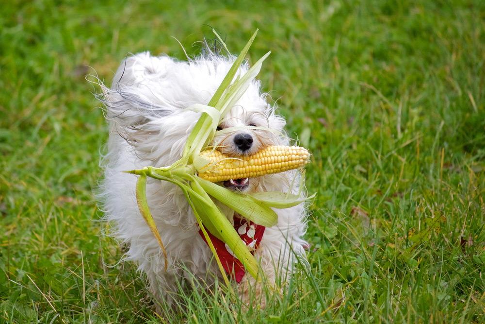 Cachorro Pode Comer Milho Cozido?