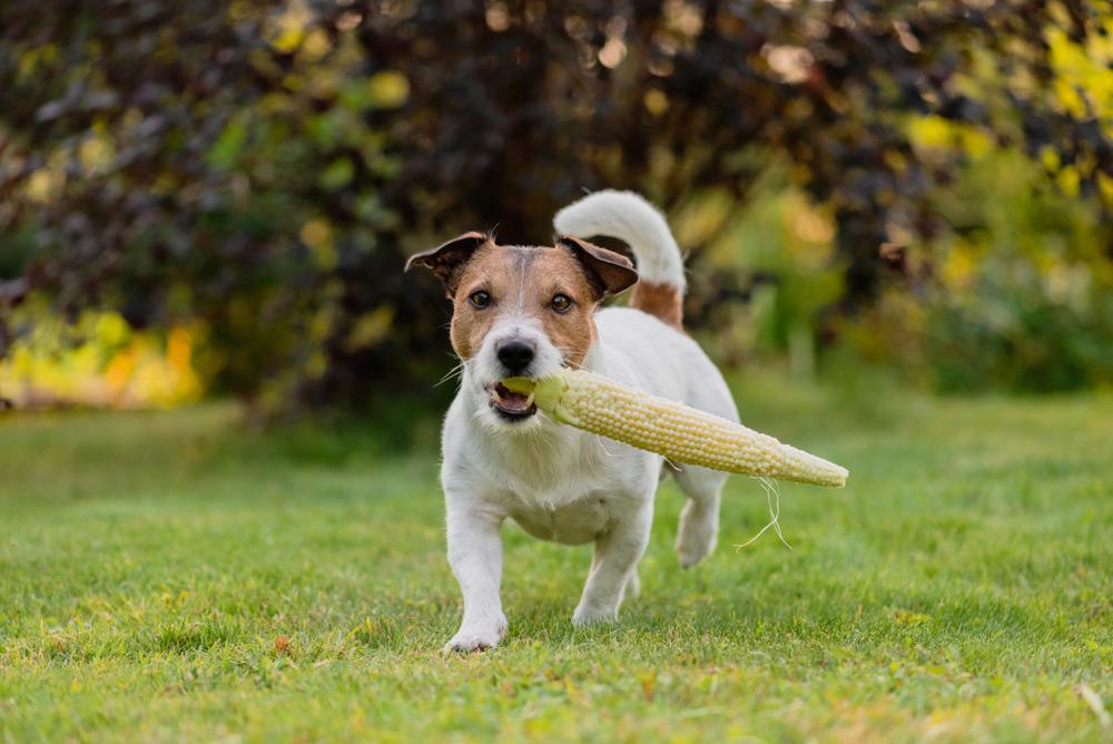 Pode Dar Milho Pra Cachorro?