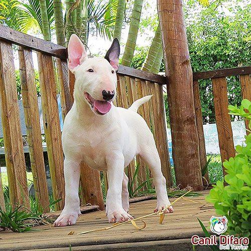 Bull Terrier Branco Ayesha