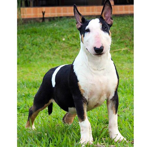 Bull Terrier Macho Jack