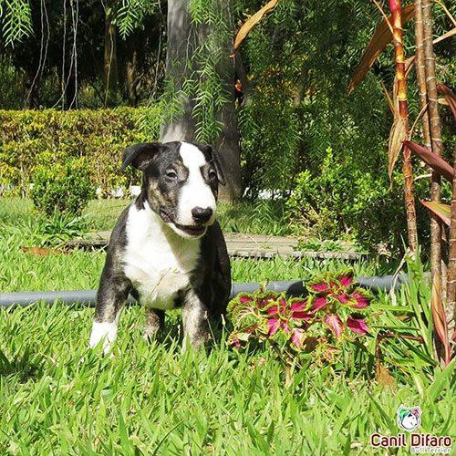 Bull Terrier Preto com Tigrado Black Bolt